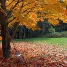 A yellow and orange maple with a rake leaning against it.